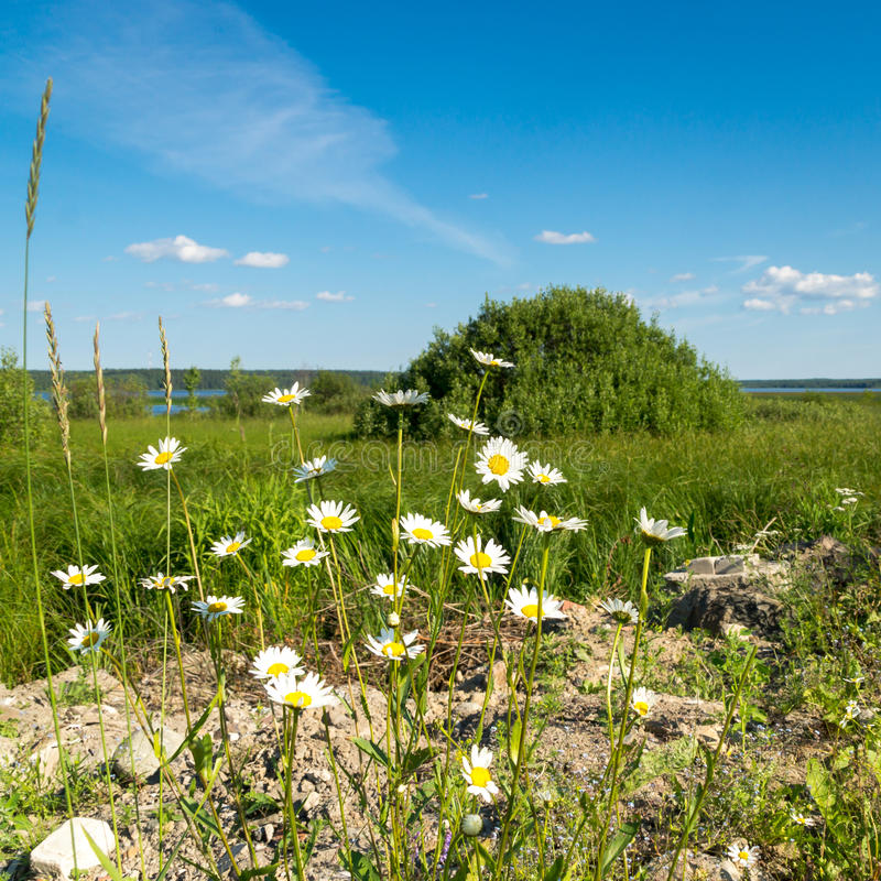 Download Camomiles On Natural Landscape Background Stock Image - Image: 42572703