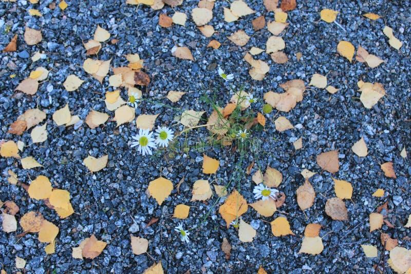 Camomiles s'élevant dans le gravier et des feuilles tombées photos libres de droits