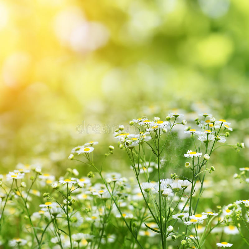 Camomiles on summer field closeup. Blurred green bokeh as background royalty free stock photo