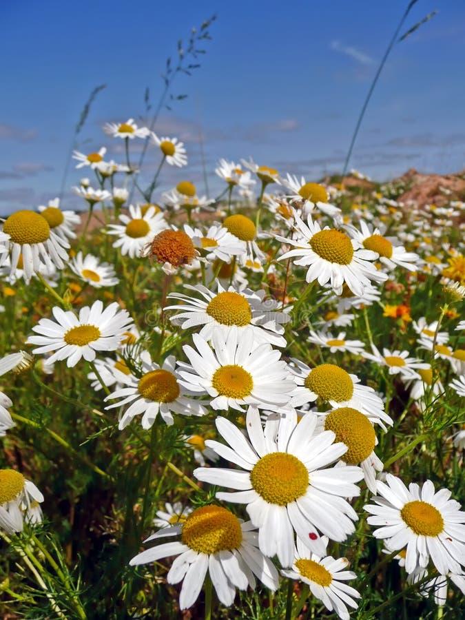 Camomilla fotografia stock immagine di fiori agosto for Fiori di agosto