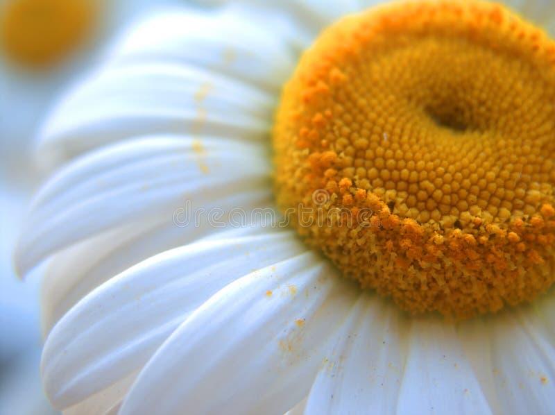 Download Camomilla 2 immagine stock. Immagine di fiorisca, grande - 218175