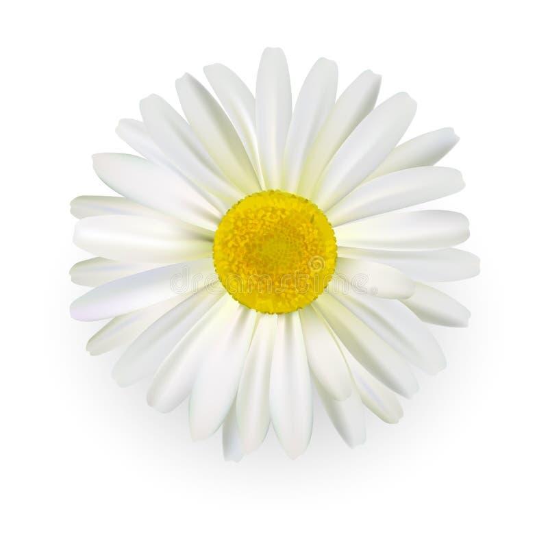 Camomilla, bello fiore della margherita con i petali leggeri isolati su fondo bianco Stile realistico Illustrazione di vettore fotografie stock