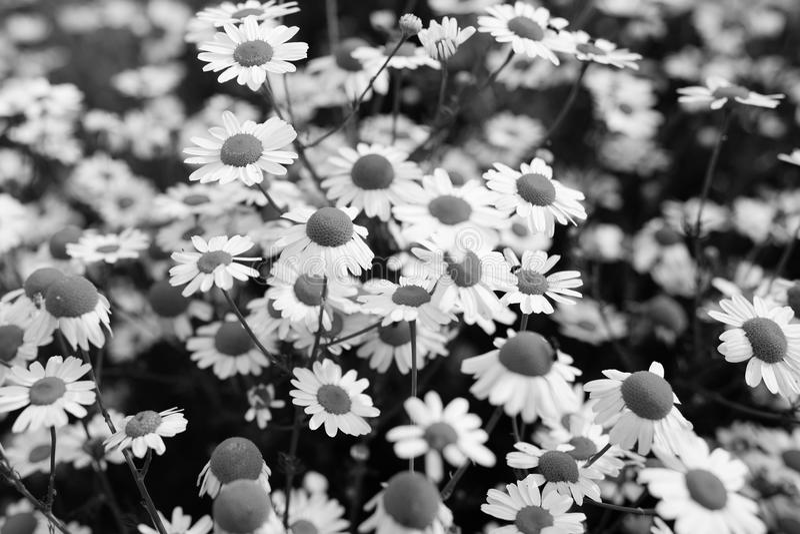 Camomilla in bianco e nero fotografie stock libere da diritti