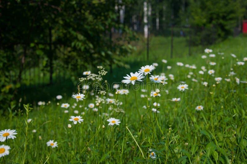 Camomilla dei Wildflowers di estate immagini stock libere da diritti