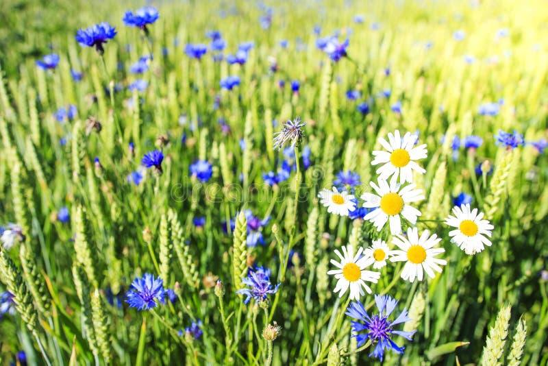 Camomilla e fiordalisi sul prato di estate Fondo verde del campo Pianta di erbe della molla immagine stock