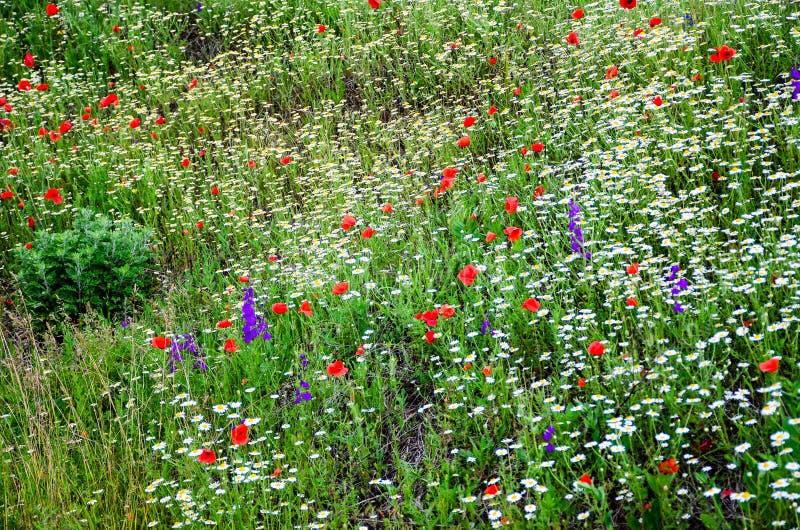camomilla e fiori del papavero fotografie stock