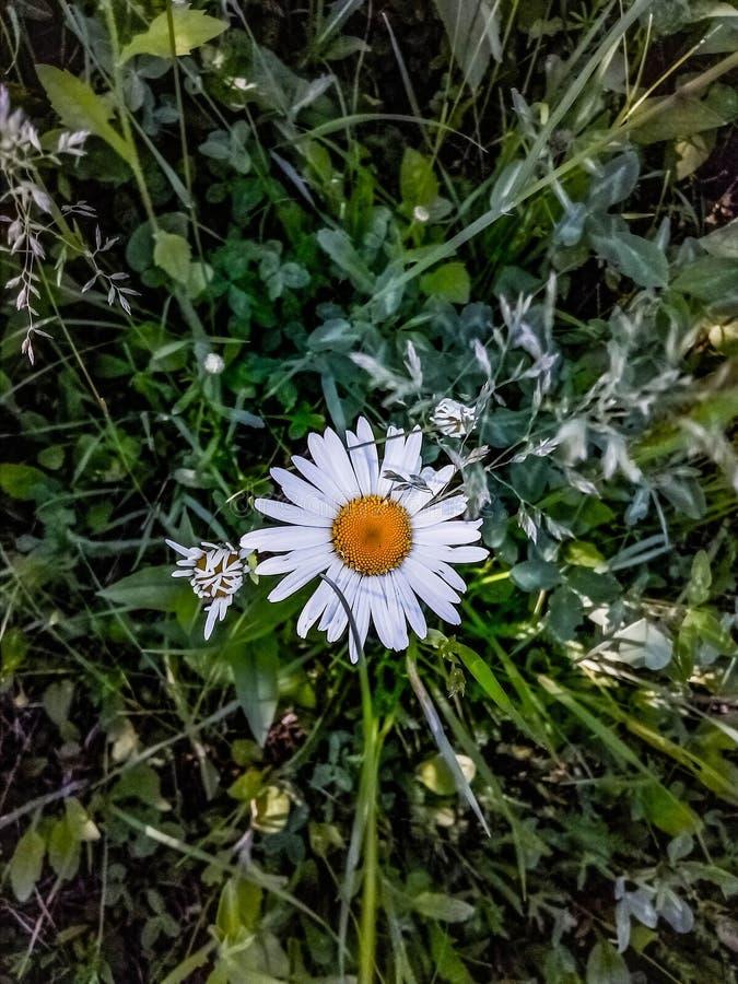 Camomilla, camomilla, estate, insetto, fiore, erba, margherita, natura fotografia stock libera da diritti