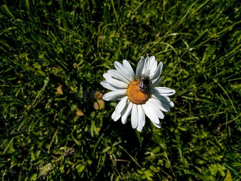 Camomilla, estate, insetto, fiore, margherita, campo fotografia stock libera da diritti