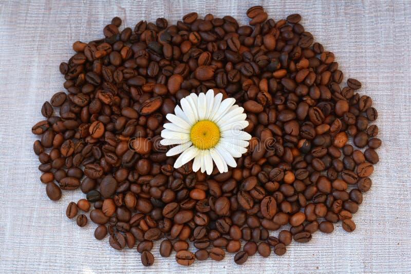Camomilla sul fondo dei chicchi di caffè Camomilla e chicchi di caffè sparsi su struttura di legno immagine stock