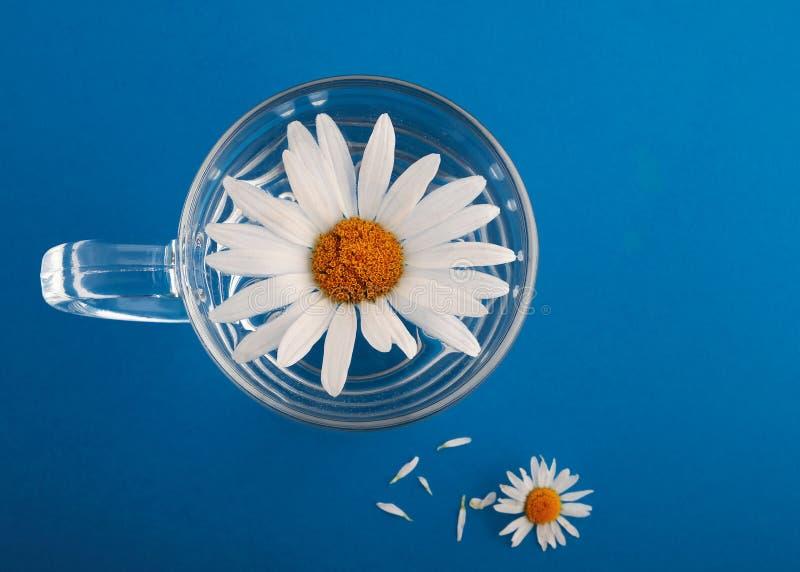 Camomilla in un bicchiere d'acqua su un fondo blu fotografie stock libere da diritti