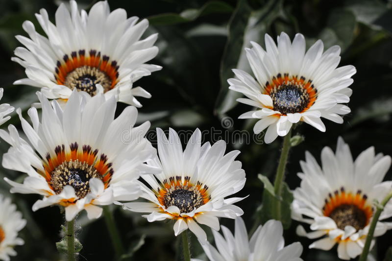 Camomille image stock