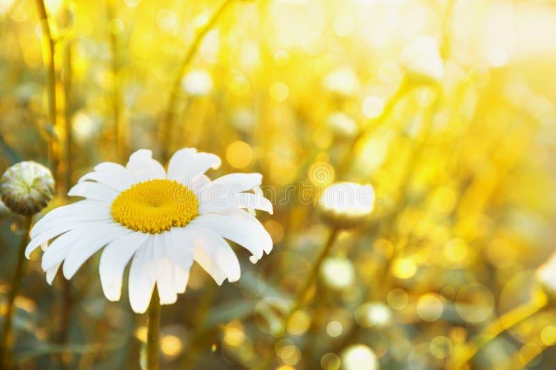 Camomille au soleil, fond floral images stock