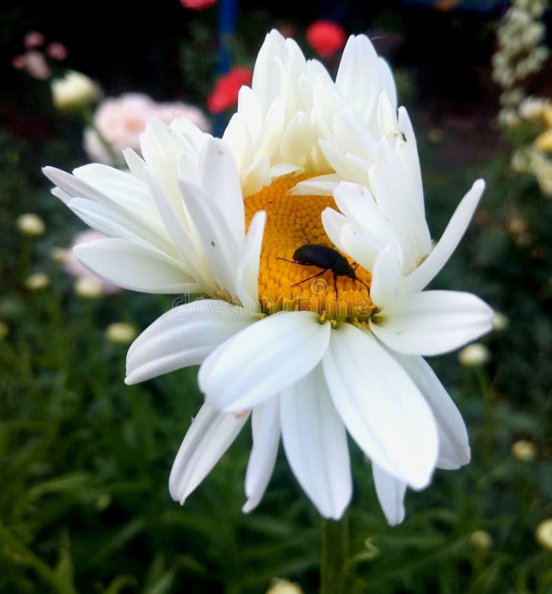 Camomille blanche avec un insecte photographie stock libre de droits