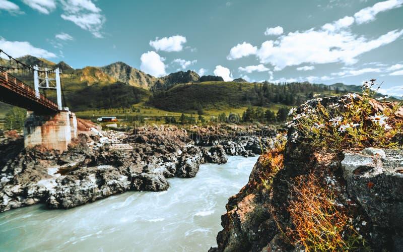 Camomille sur la roche dans des arrangements de montagne photographie stock libre de droits