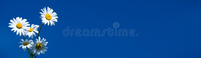 Camomille sur le drapeau bleu photo stock