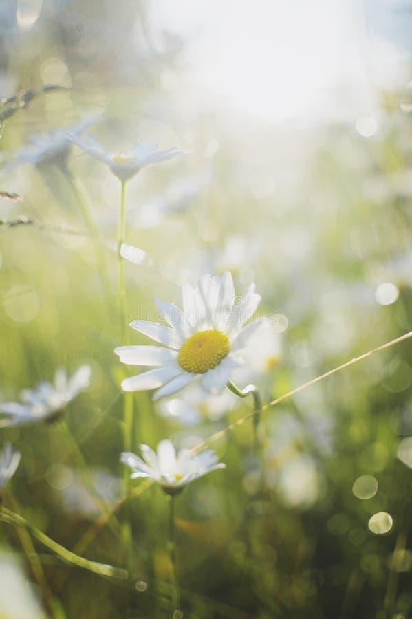 Camomille sur un pré d'été à la lumière du soleil Beau fond d'été Photographie verticale plan rapproché, foyer mou image libre de droits