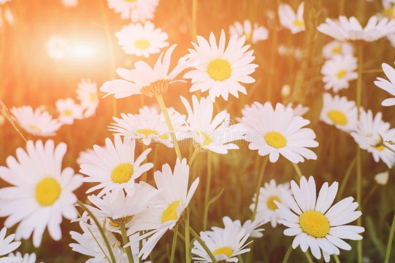 Camomille sur un pré d'été à la lumière du soleil, plan rapproché Beau fond d'été image stock