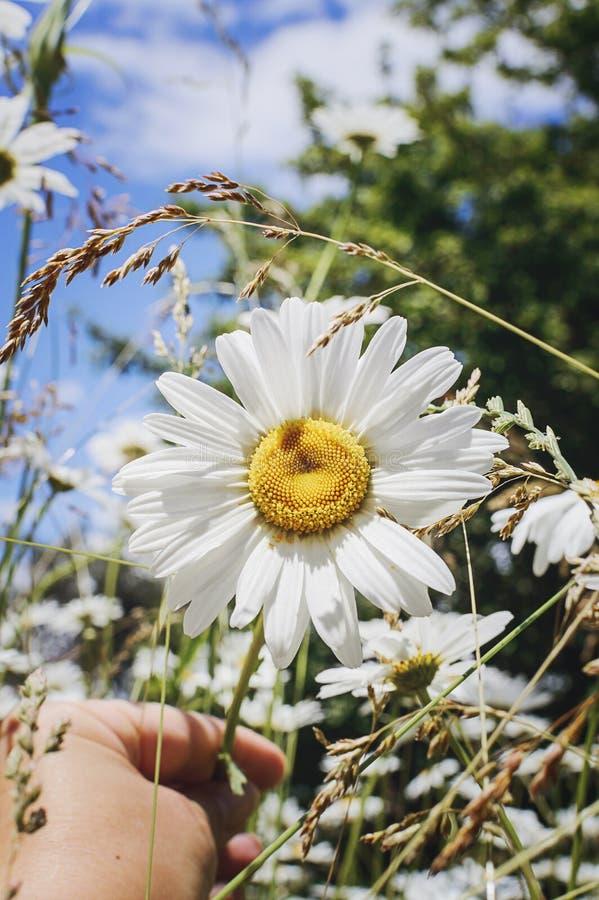 Camomille sur un pré d'été à la lumière du soleil, plan rapproché Beau fond d'été images libres de droits