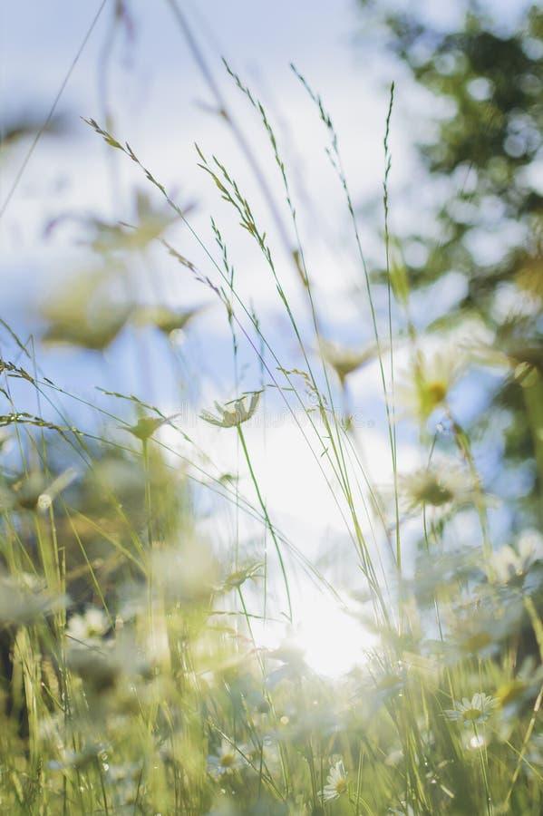 Camomille sur un pré d'été à la lumière du soleil, plan rapproché Beau fond d'été Photographie verticale image stock
