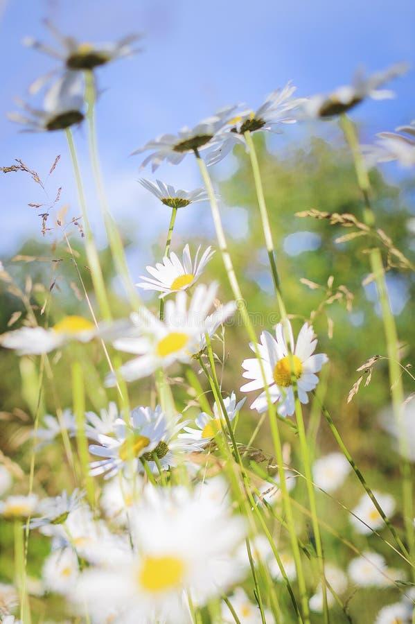 Camomille sur un pré d'été à la lumière du soleil, plan rapproché Beau fond d'été Photographie verticale photo stock