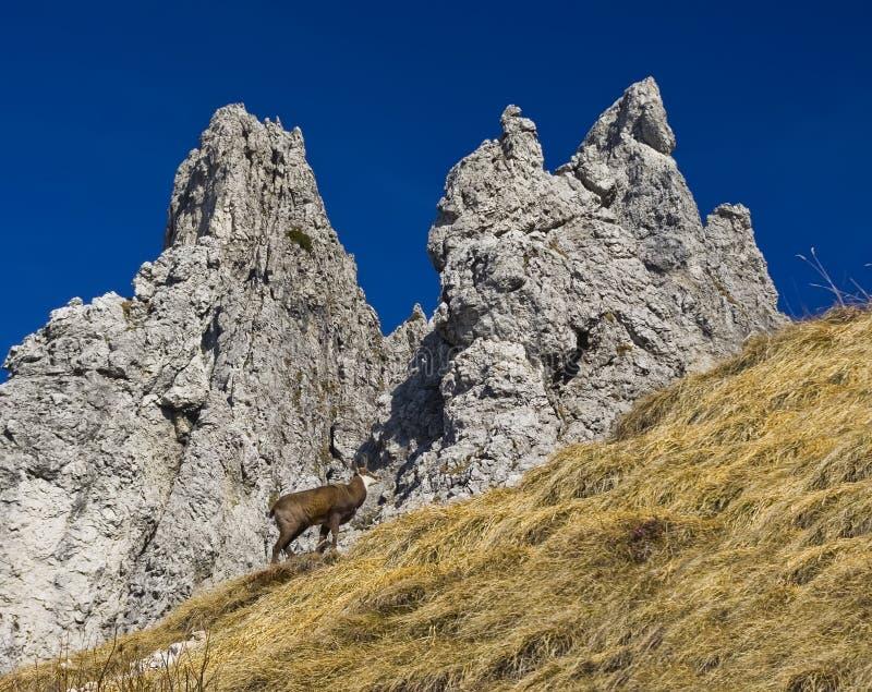 Camoscio in alpi