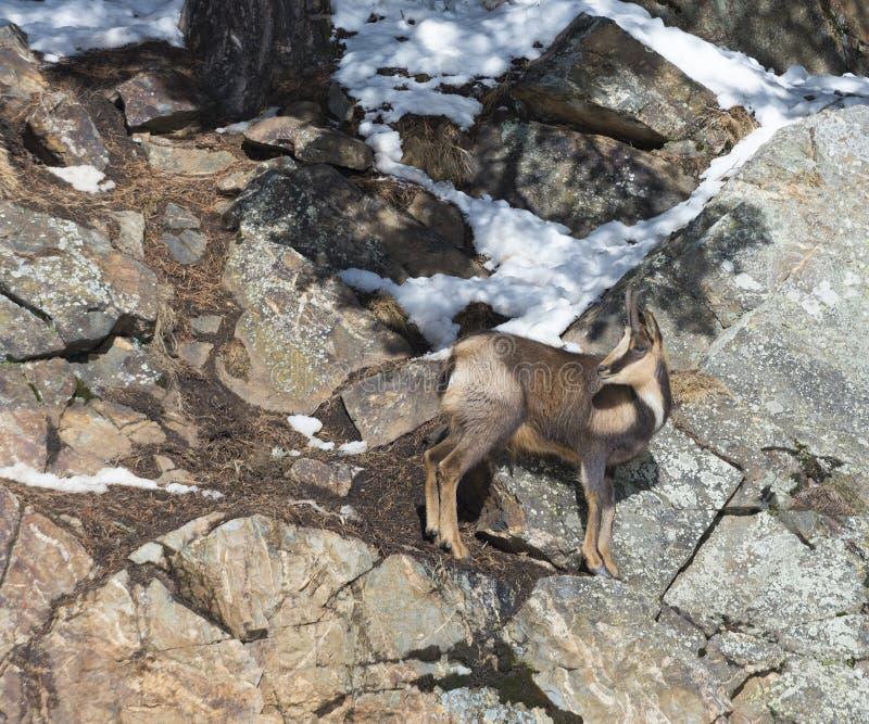 Camoscio sulle rocce nell'inverno immagini stock