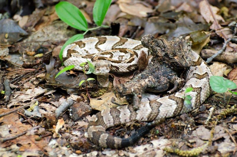 Camouflage Canebrake Timber Rattlesnake stock photos
