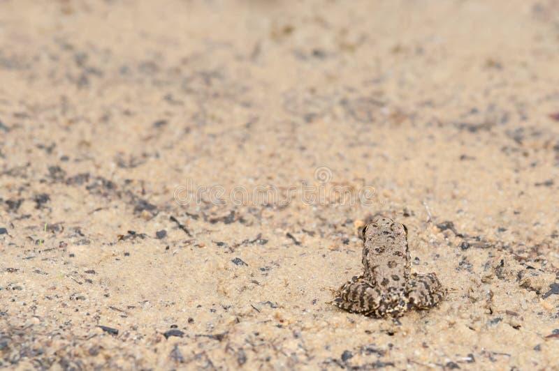 Camouflage de grenouille photo stock