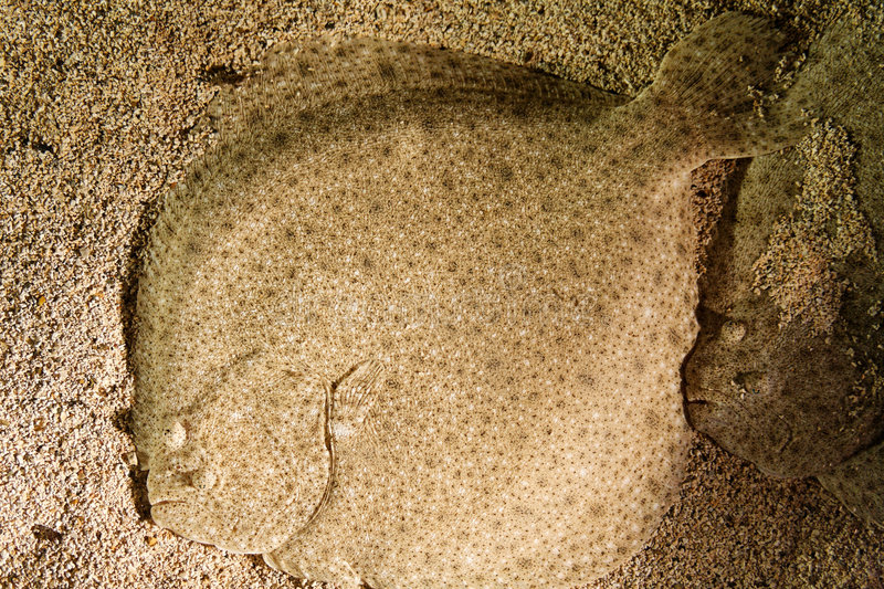 Camouflage fish stock images