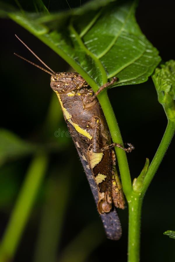 The Camouflage Grasshopper stock photos