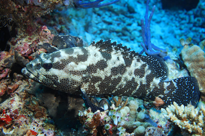 Camouflage grouper fish. (Epinephelus polyphekadion) in the tropical coral reef royalty free stock photo