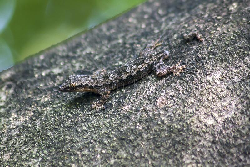 Camouflage lizards on the tree Not to notice easily. The camouflage lizard on the tree does not notice easily stock image