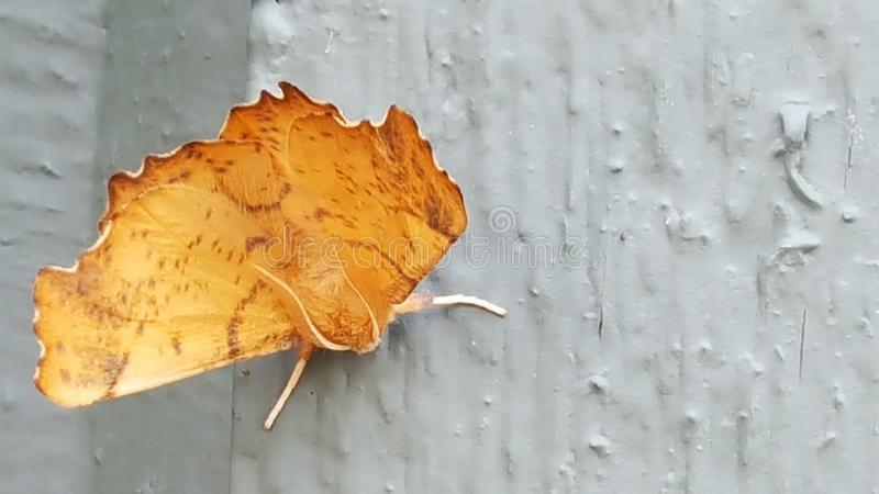 Brown midwest moth stock photos