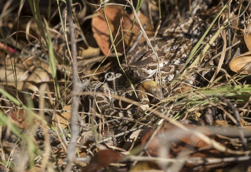 Camouflage Pacifique du sud de serpent à sonnettes images stock