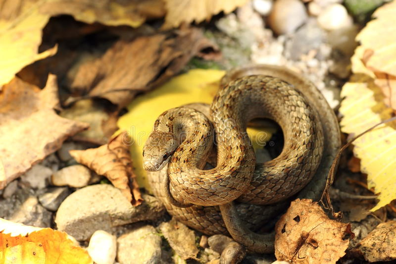 Camouflage of smooth snake on autumn forest ground stock photo