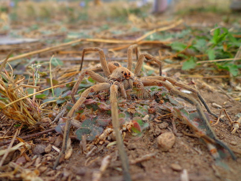 Download Wolf spider stock photo. Image of walks, reptile, ground - 31986840