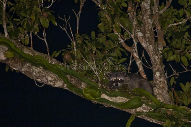 Camouflaged łasowania szop pracz przy nocą na drzewie zdjęcia stock