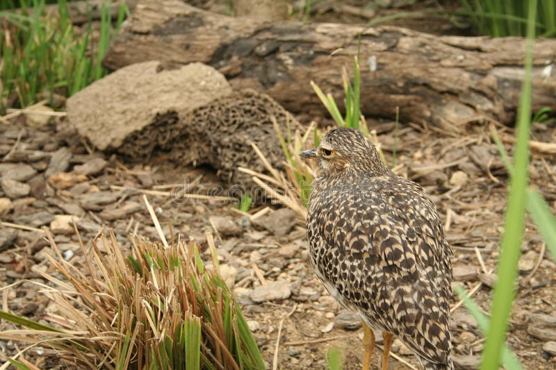 A camouflaged bird stock images