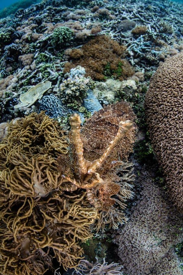 Camouflaged Cuttlefish na indonezyjczyk rafie fotografia stock