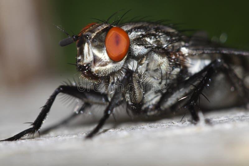 Camouflaged flesh fly stock photo