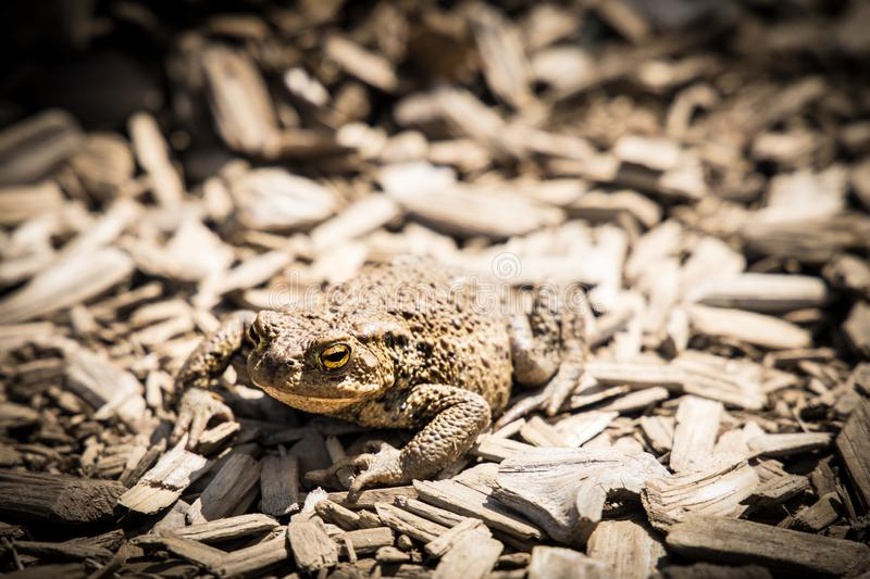 Camouflaged frog. Camouflaged common frog on wood chips. Western europe. Rana Temporaria stock images
