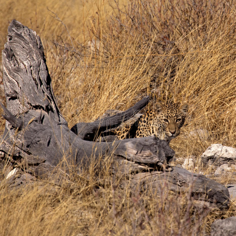 Camouflaged Leopard royalty free stock photography