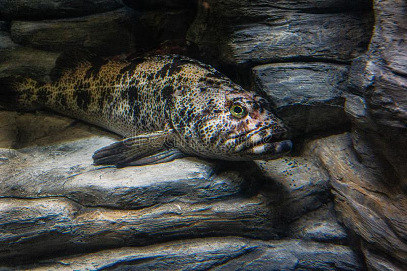 Ling cod fish name is Ophiodon elongates or Lingcod royalty free stock images