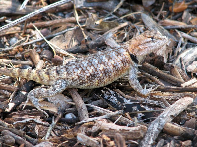 Camouflaged lizard royalty free stock images