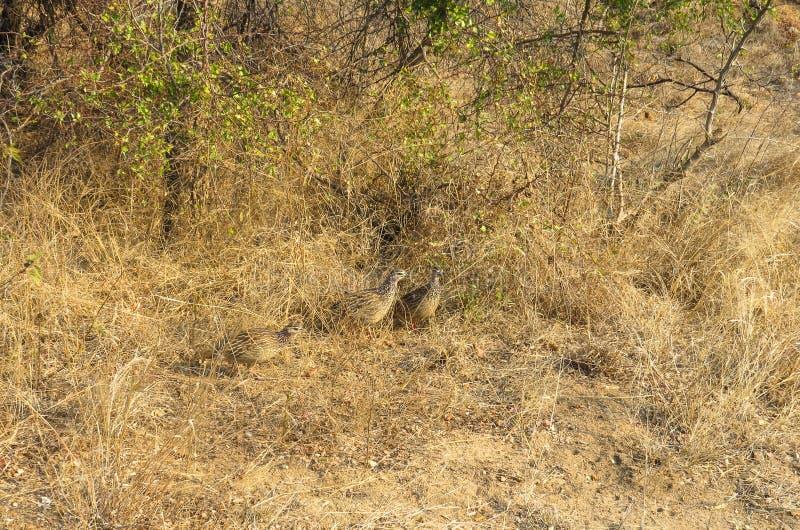 Camouflaged Popielaty Francolins w Kruger parku narodowym fotografia stock