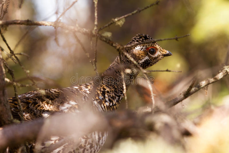 Download Camouflaged Spruce Grouse Hiding In Tree Stock Image - Image: 20079453