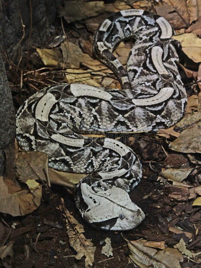 Camouflaged Venomous Gaboon Viper. Close up detail of large African snake with deadly venom laying on forest floor royalty free stock photo