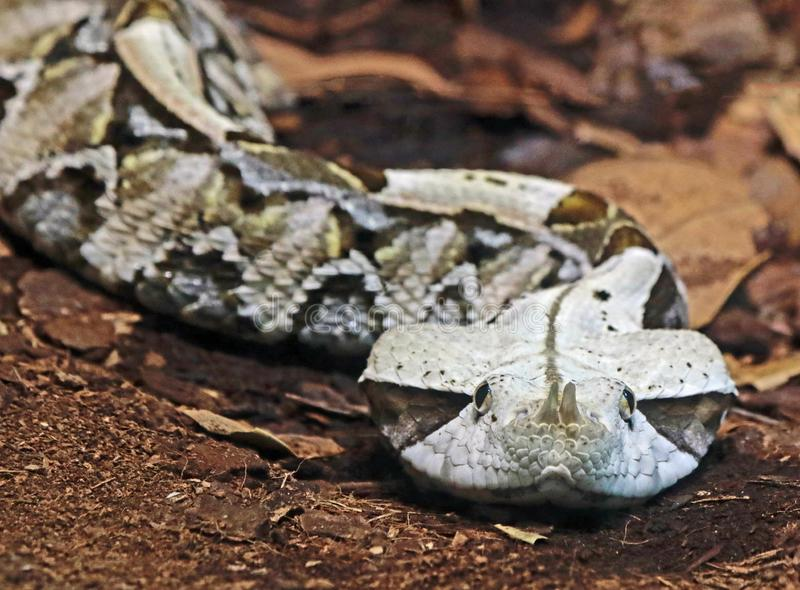 Camouflaged Venomous Gaboon Viper. Close up detail of large African snake with deadly venom laying on forest floor stock photo