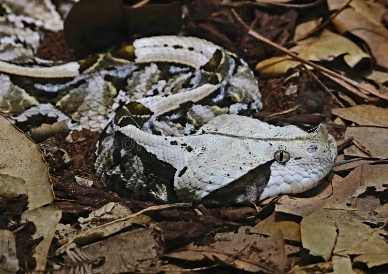 Camouflaged Venomous Gaboon Viper. Close up detail of large African snake with deadly venom laying on forest floor royalty free stock photography
