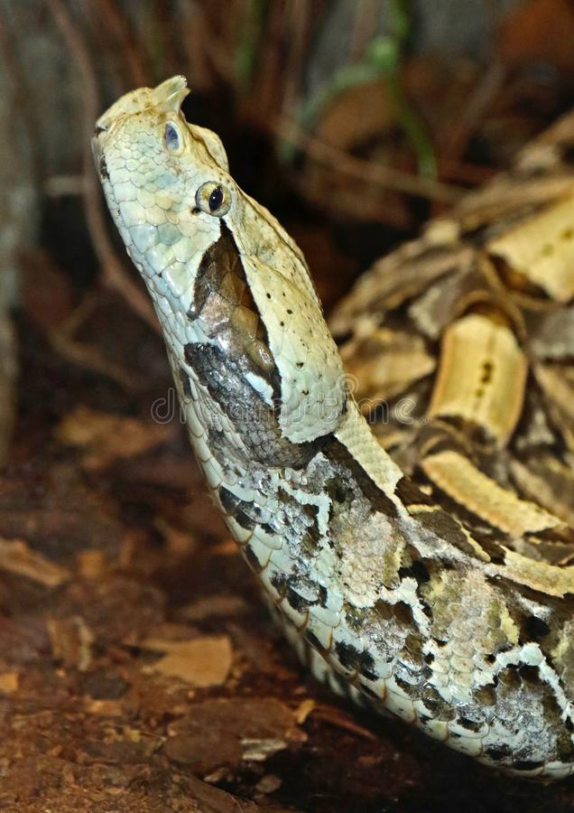 Camouflaged Venomous Gaboon Viper. Close up detail of large African snake with deadly venom laying on forest floor royalty free stock images